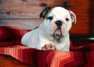 A Comfy Drawer Bulldog Puppy HD Wallpaper Backgrounds Dog Pictures