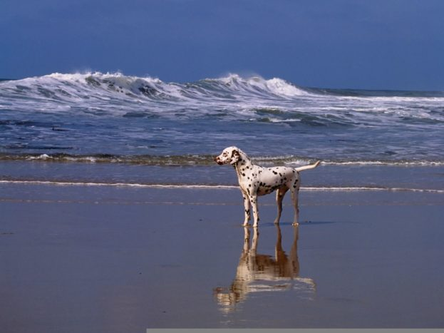 A Day At The Beach Dalmatian HD Wallpaper Backgrounds Dog Pictures