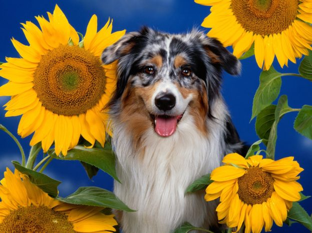 Australian Shepherd HD Wallpaper Backgrounds Dog Pictures