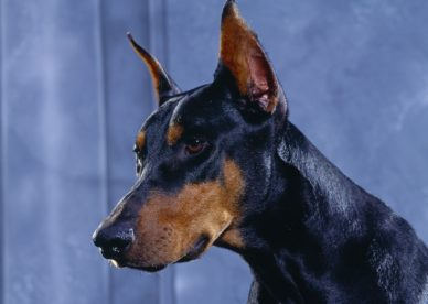 Doberman Pinscher HD Wallpaper Backgrounds Dog Pictures
