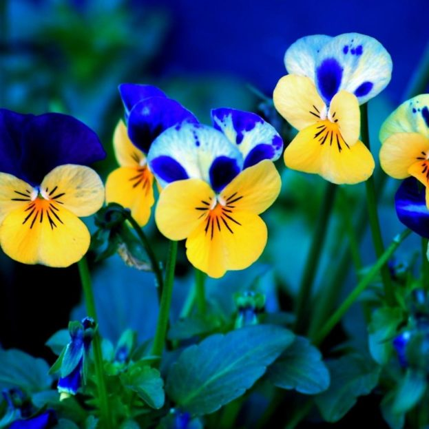 Pansies Beautiful Flowers Images 2017 HD Wallpapers Backgrounds Images