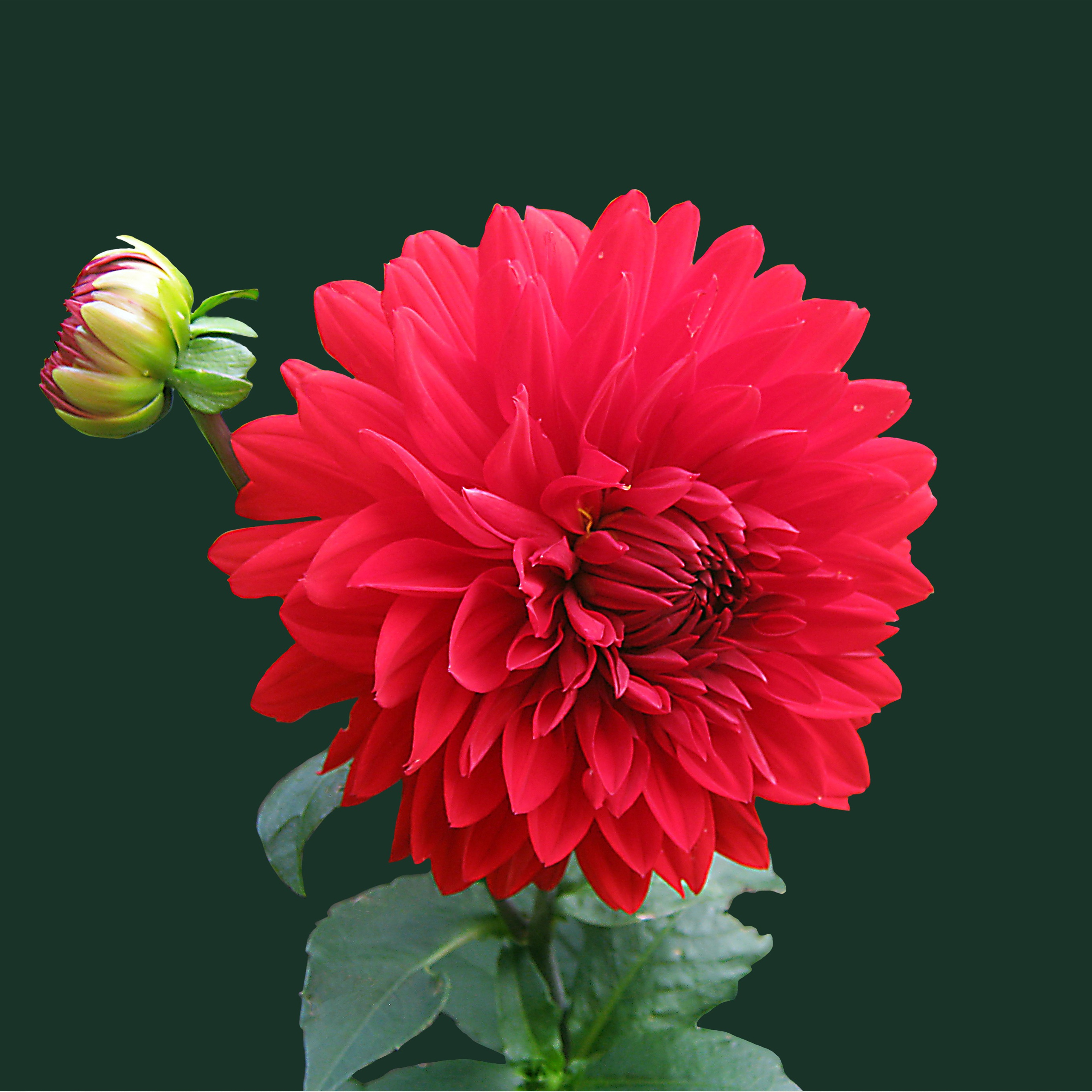 Red Beautiful Flowers Wallpapers For Mobile