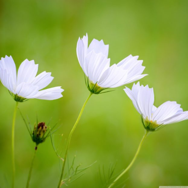 White Cosmos Beautiful Flowers HD Wallpapers Backgrounds Images