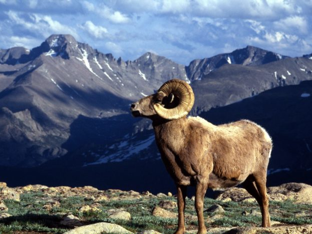 Big Horn Ram, Rocky Mountain National Park, Colorado HD+1600x900, UXGA 1600x1200 - HD Wallpapers Backgrounds Desktop, iphone & Android Free Download