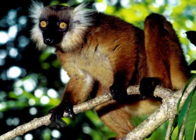 Black Lemur, Malagasy Republic HD+1600x900, UXGA 1600x1200 - HD Wallpapers Backgrounds Desktop, iphone & Android Free Download