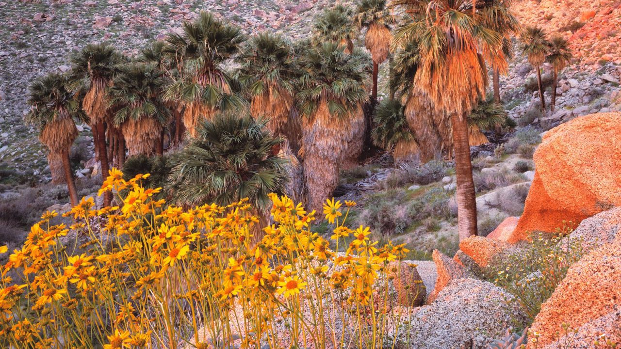 California Fan Palms And Brittlebush At Sunrise, Anza Borrego Desert State Park, California HD+1600×900, UXGA 1600×1200 – HD Wallpapers Backgrounds Desktop, iphone & Android Free Download