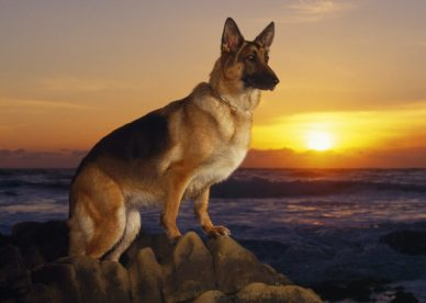 A Day At The Beach German Shepherd HD Wallpaper Backgrounds Dog Pictures