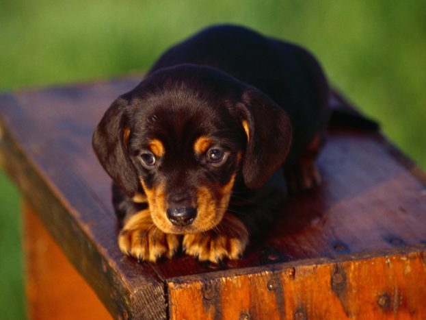 Dachshund Puppy Dog Pictures HD Wallpaper Backgrounds