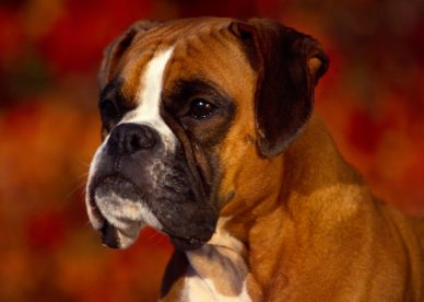 Georgi Boxer Dog Pictures