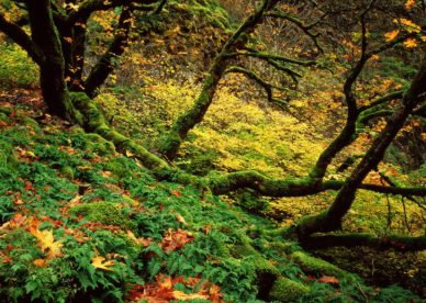 Big Leaf Maple And Ferns In Autumn, Columbia River Gorge, Oregon HD+1600x900, UXGA 1600x1200 - HD Wallpapers Backgrounds Desktop, iphone & Android Free Download