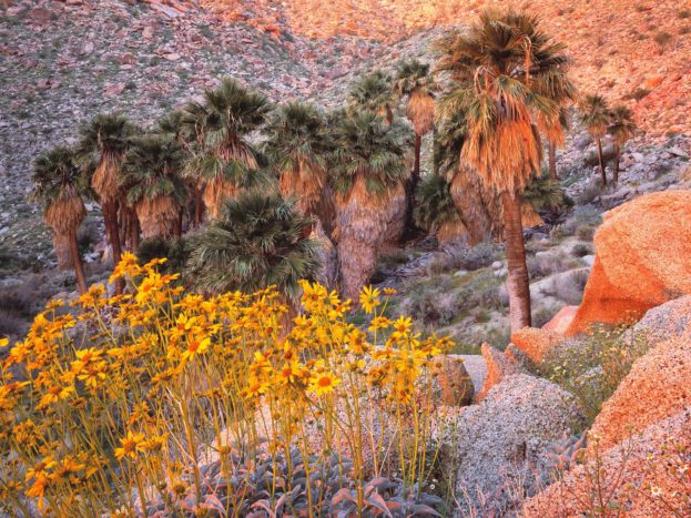 California Fan Palms And Brittlebush At Sunrise, Anza Borrego Desert State Park, California HD+1600x900, UXGA 1600x1200 - HD Wallpapers Backgrounds Desktop, iphone & Android Free Download